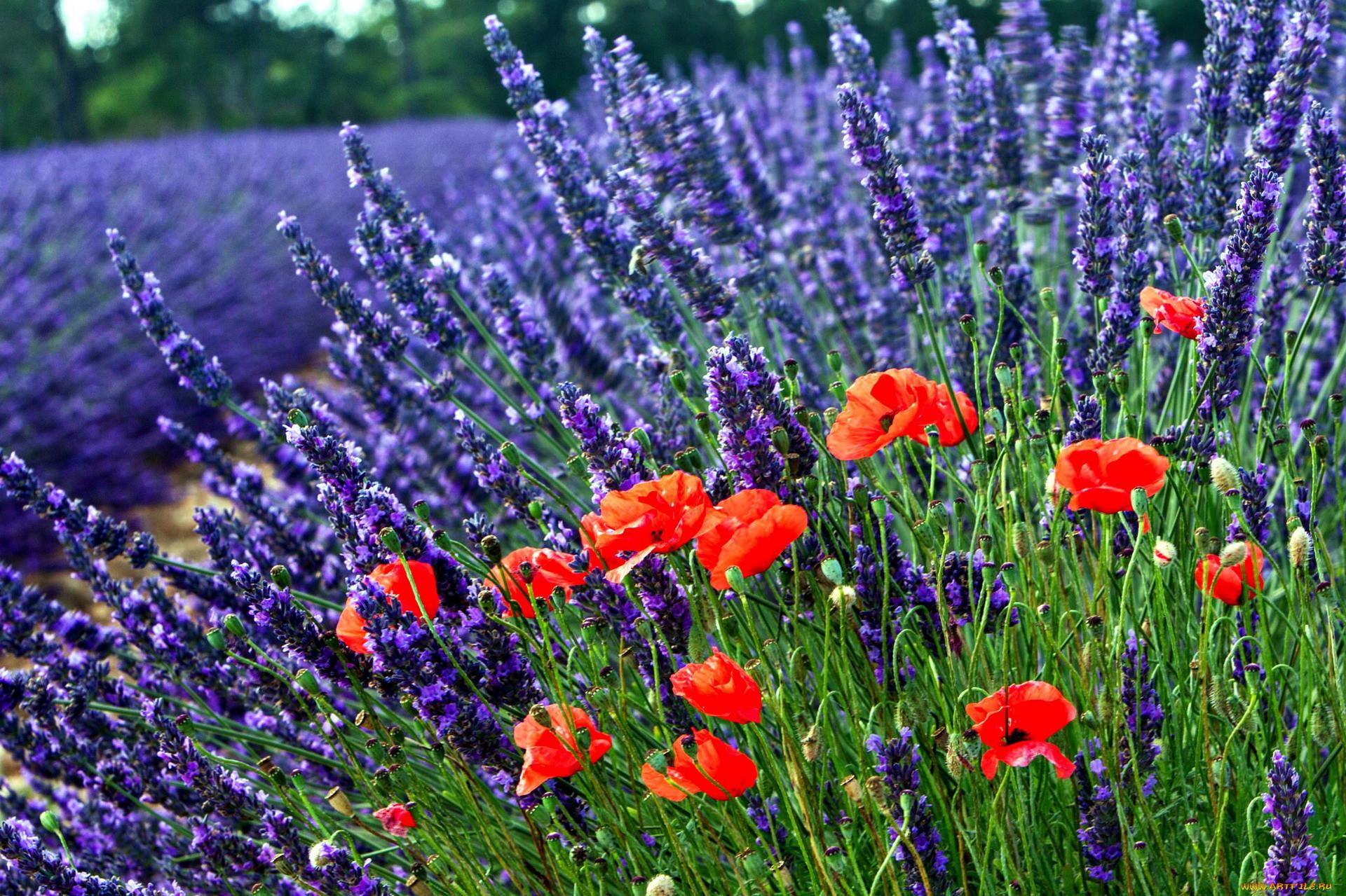 что разноцветных полевые цветы большие картинки минимизации расходов уменьшения